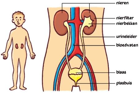 delen van de penis